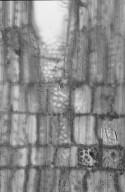 EUPHORBIACEAE Baloghia lucida
