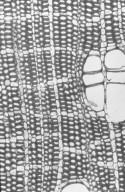 EUPHORBIACEAE Endospermum moluccanum