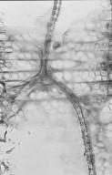 EUPHORBIACEAE Endospermum peltatum