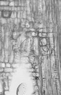 EUPHORBIACEAE Mallotus philippinensis