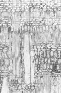 EUPHORBIACEAE Mallotus polyadenus
