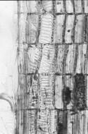 PHYLLANTHACEAE Phyllanthus warburgii