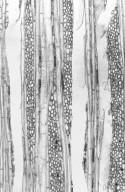 ACHARIACEAE Erythrospermum candidum