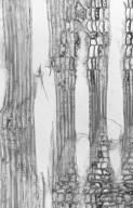 SALICACEAE Ryania speciosa
