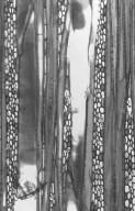 ACHARIACEAE Ryparosa calotricha