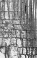 SALICACEAE Zuelania guidonia