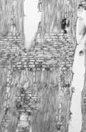 HYPERICACEAE Cratoxylum formosum
