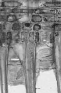 ALTINGIACEAE Liquidambar styraciflua