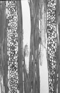 CARDIOPTERIDACEAE Citronella suaveolens