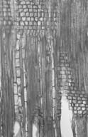 ICACINACEAE Poraqueiba guianensis