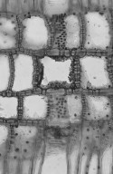 ILLICIACEAE Illicium anisatum