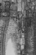 JUGLANDACEAE Carya illinoinensis