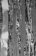 JUGLANDACEAE Engelhardia nudiflora