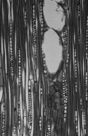 JUGLANDACEAE Juglans australis