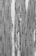 LAURACEAE Cinnamomum verum