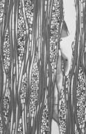STILBACEAE Nuxia floribunda