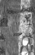 LEGUMINOSAE CAESALPINIOIDEAE Brachystegia spiciformis