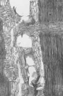 LEGUMINOSAE CAESALPINIOIDEAE Cassia fistula