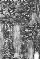 LEGUMINOSAE CAESALPINIOIDEAE Cynometra inaequifolia