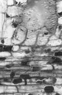 LEGUMINOSAE DETARIOIDEAE Detarium senegalense