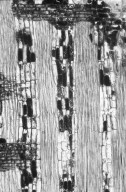 LEGUMINOSAE DIALIOIDEAE Dicorynia guianensis