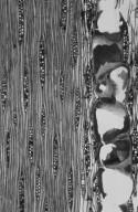 LEGUMINOSAE CAESALPINIOIDEAE Peltophorum pterocarpum