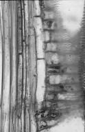 LEGUMINOSAE CAESALPINIOIDEAE Pseudosindora palustris