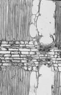 LAURACEAE Sextonia rubra