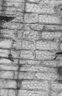 LECYTHIDACEAE Couroupita guianensis