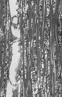 LECYTHIDACEAE Planchonia papuana