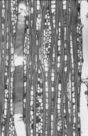 LECYTHIDACEAE Planchonia valida