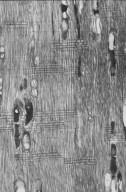 LEGUMINOSAE MIMOSOIDEAE Acacia aneura