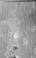LEGUMINOSAE CAESALPINIOIDEAE Mimosoid Clade Acacia auriculiformis