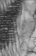 LEGUMINOSAE MIMOSOIDEAE Acacia dealbata