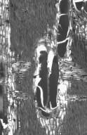 LEGUMINOSAE MIMOSOIDEAE Acacia excelsa