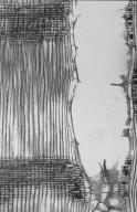 LEGUMINOSAE MIMOSOIDEAE Acacia penninervis