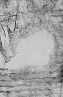 LEGUMINOSAE CAESALPINIOIDEAE Mimosoid Clade Adenanthera intermedia