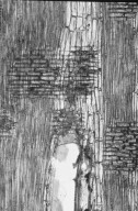 LEGUMINOSAE MIMOSOIDEAE Adenanthera pavonina