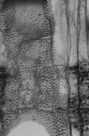LEGUMINOSAE MIMOSOIDEAE Albizia odoratissima