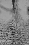 LEGUMINOSAE CAESALPINIOIDEAE Mimosoid Clade Anadenanthera colubrina cebil