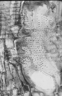 LEGUMINOSAE CAESALPINIOIDEAE Mimosoid Clade Marmaroxylon racemosum