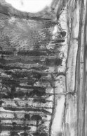 LEGUMINOSAE MIMOSOIDEAE Albizia splendens