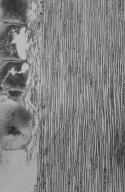 LEGUMINOSAE MIMOSOIDEAE Albizia guachapele