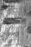 LEGUMINOSAE MIMOSOIDEAE Albizia saman