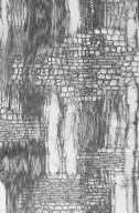 MALPIGHIACEAE Bunchosia glandulifera