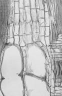 LEGUMINOSAE PAPILIONOIDEAE Bowdichia nitida