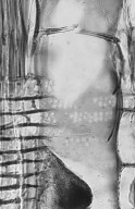 LEGUMINOSAE PAPILIONOIDEAE Dipteryx odorata