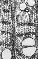 LEGUMINOSAE PAPILIONOIDEAE Erythrina vespertilio