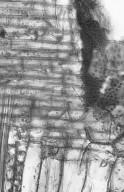 LEGUMINOSAE PAPILIONOIDEAE Millettia sp.
