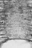 LEGUMINOSAE PAPILIONOIDEAE Ormosia calavensis